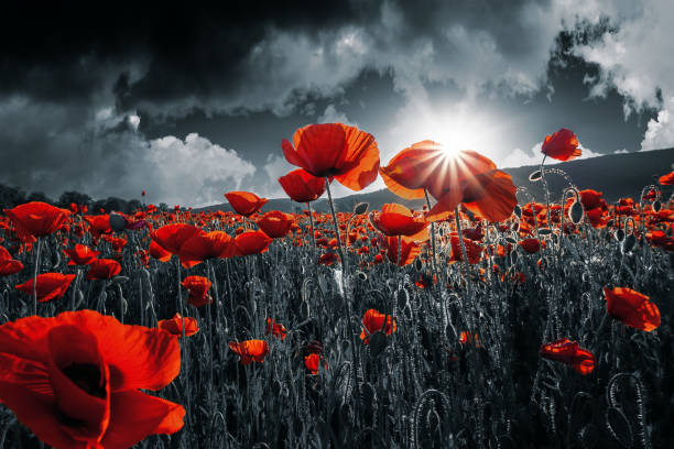 papoulas vermelhas no campo. dia da lembrança - papoula planta - fotografias e filmes do acervo