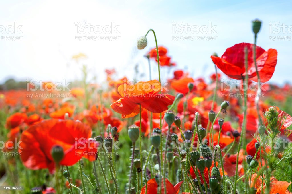 Red poppies in the sun royalty-free stock photo