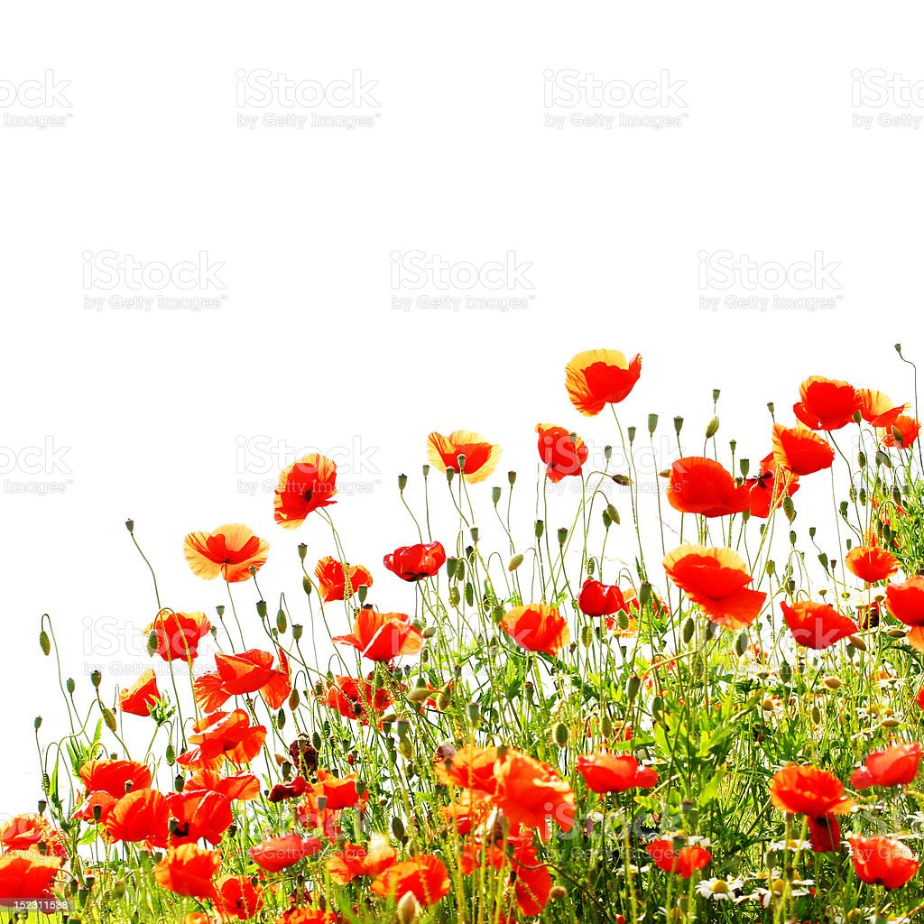 Red poppies isolated on white background royalty-free stock photo