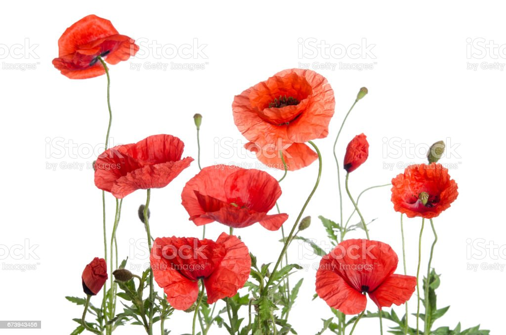 red poppies isolated on white background foto de stock royalty-free