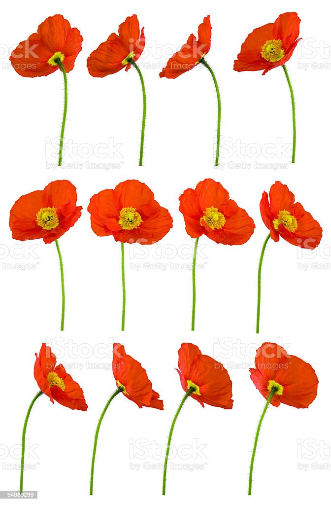 Red Poppies - large file stock photo