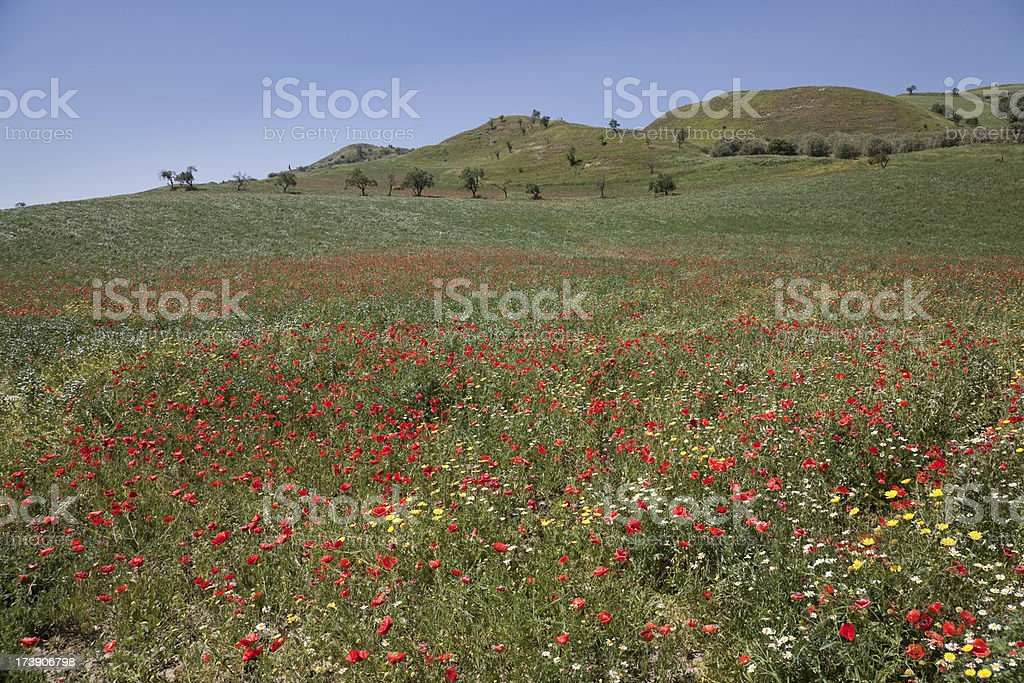 Red Poppies of Sicily, Italy stock photo