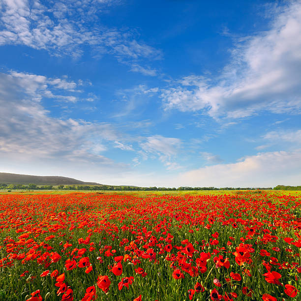 Red poppies on a background of blue sky stock photo