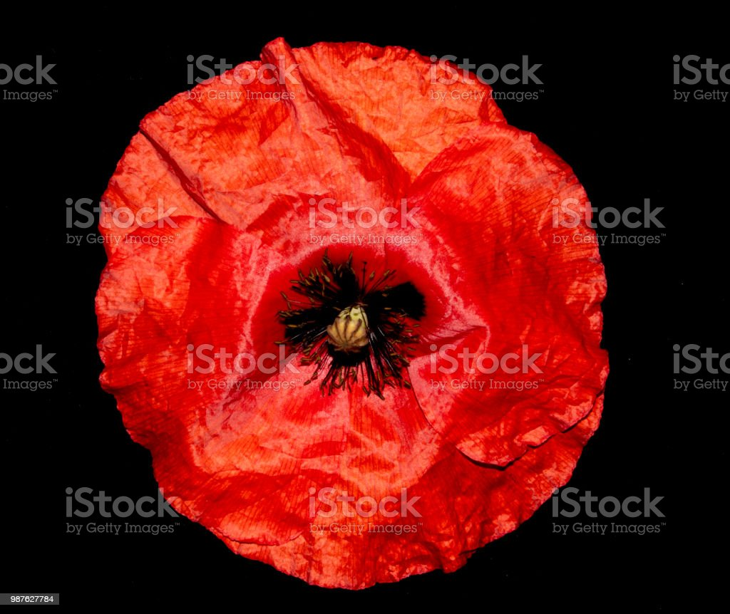 Red Poppies on A Black Background stock photo