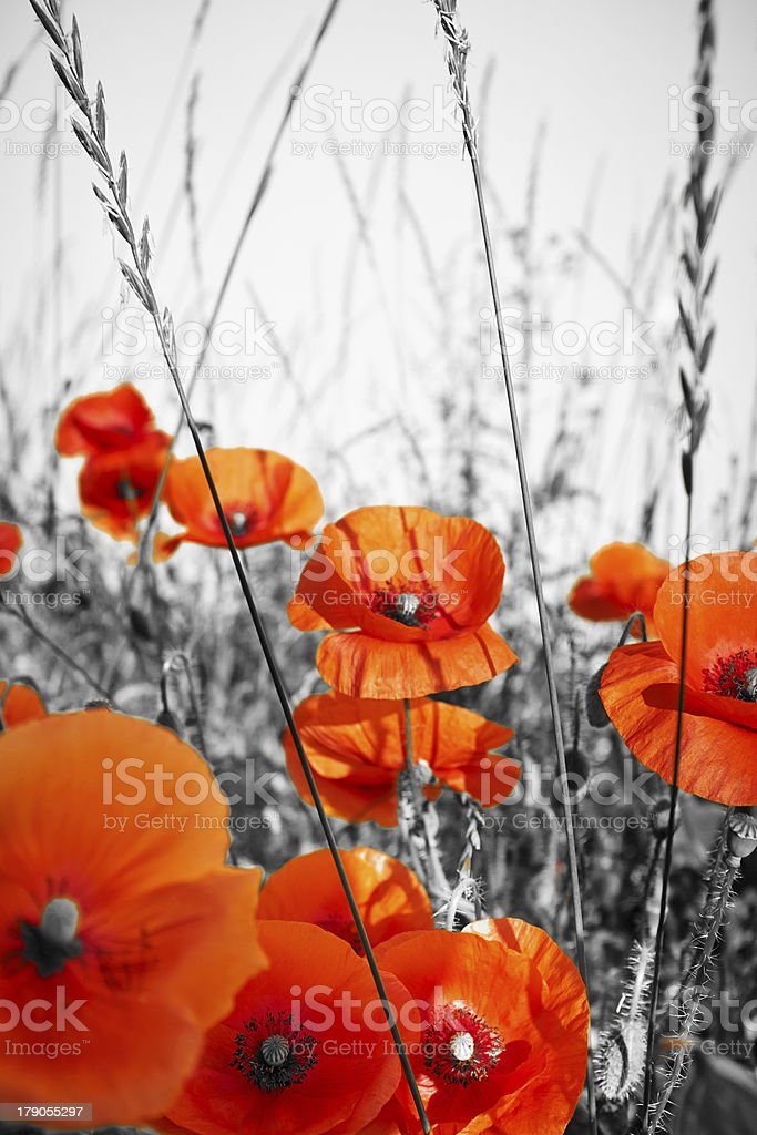 red poppies on BW field royalty-free stock photo