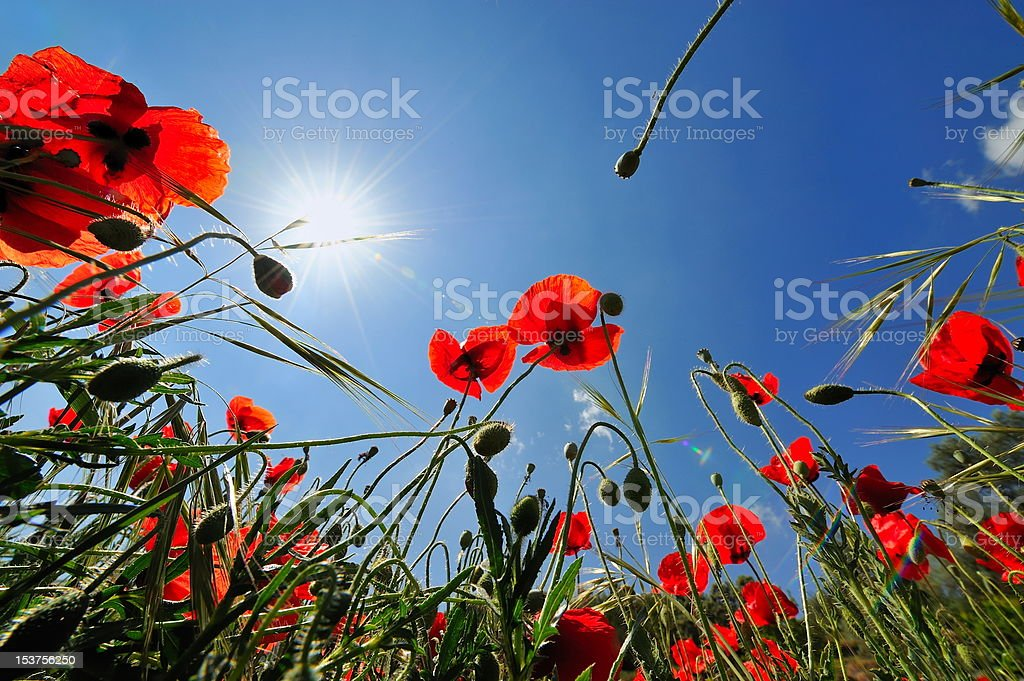 red poppies on field royalty-free stock photo