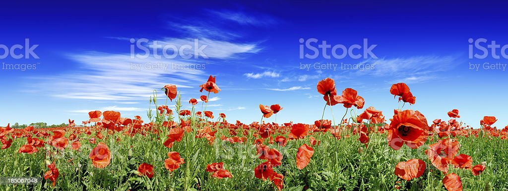 Red poppies on green field royalty-free stock photo