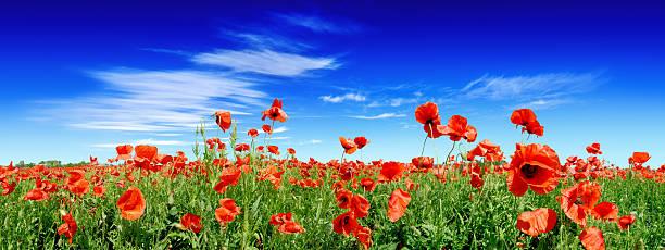 Red poppies auf grünen Feld – Foto