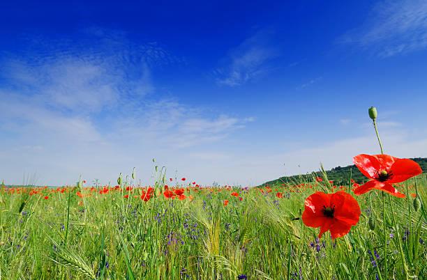Red poppies auf der Wiese, blauer Himmel und weiße Wolken – Foto