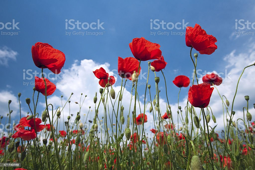 Red poppies on the blue sky royalty-free stock photo
