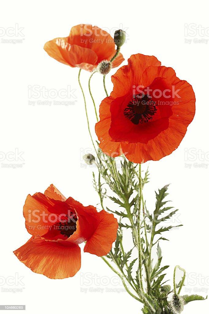 Poppies – Foto