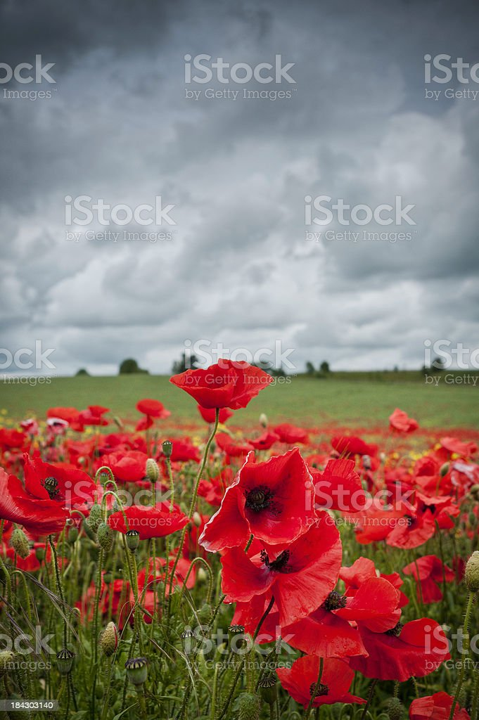 Red poppies, overcast clouds, UK royalty-free stock photo