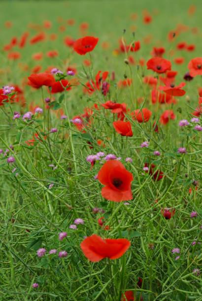 Rote Mohnblumen – Foto