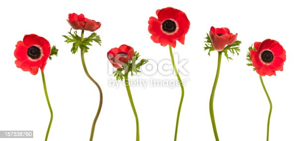 Red Poppies in a row. Isolated on white. YOU MIGHT ALSO LIKE THIS: