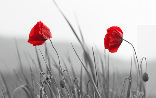 Field of beautiful red poppies isolated on a black and white with shadow