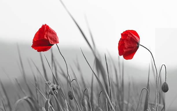 red poppies - mohn stock-fotos und bilder