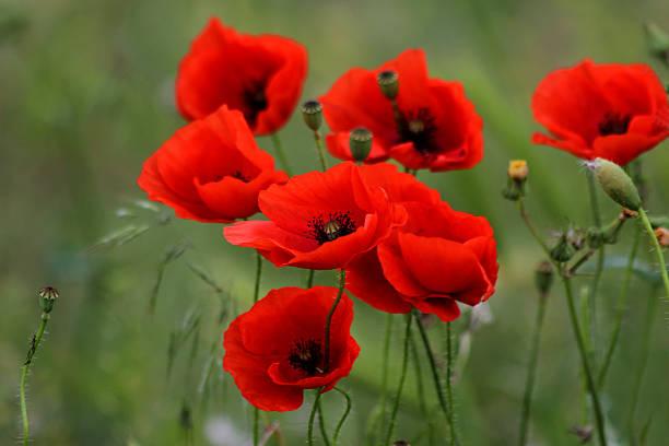 red poppies - papoula planta - fotografias e filmes do acervo