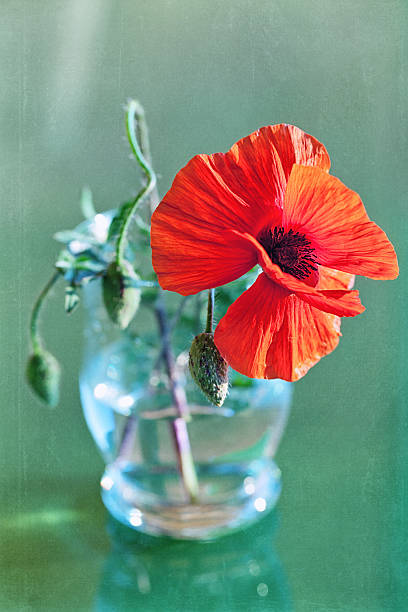 Red poppies – Foto