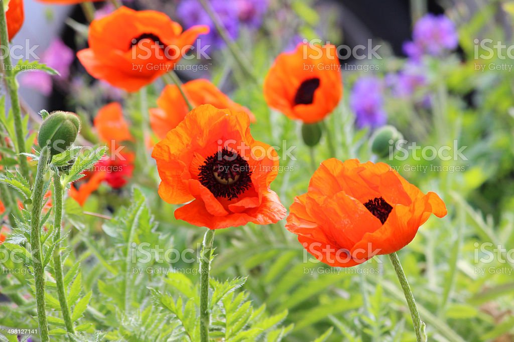 Red poppies (Brilliant Red Oriental Poppy flower / Papaver Orientale Brilliant) stock photo