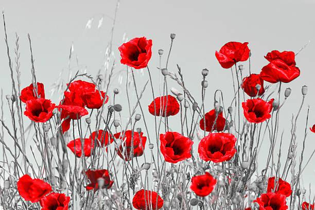 red poppies - farbfeldmalerei stock-fotos und bilder