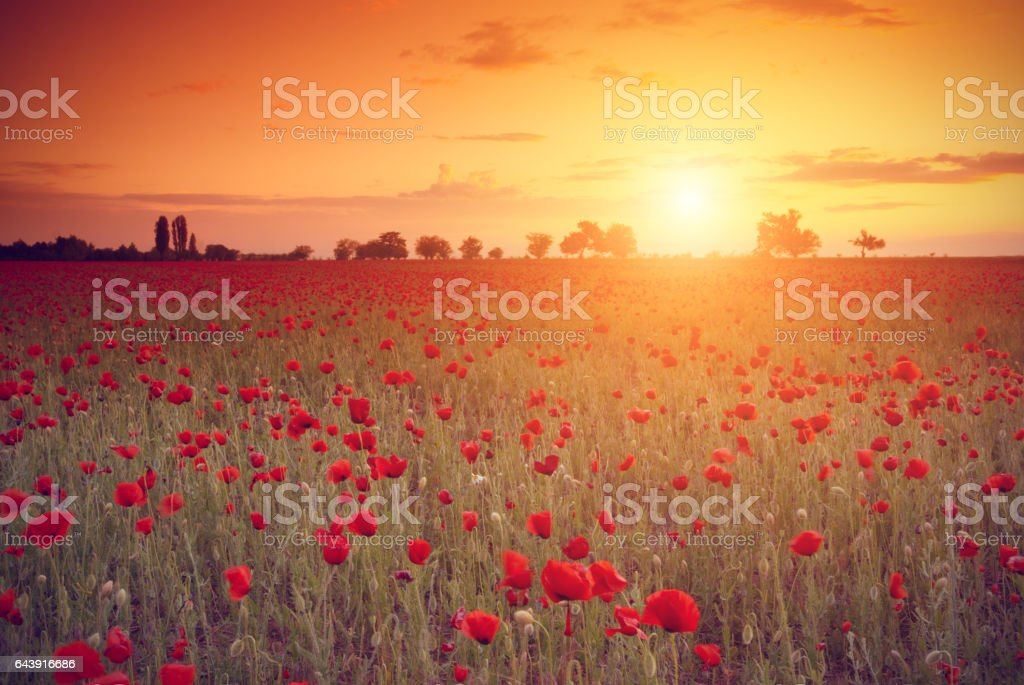 Rosso poppies  - foto stock