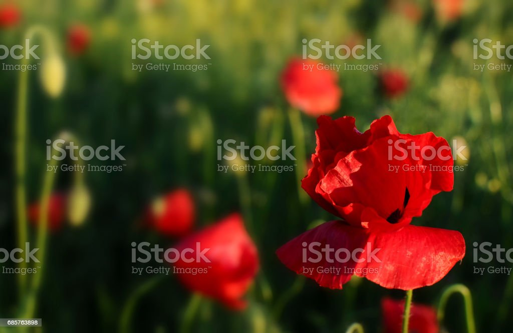 Red poppies royalty free stockfoto