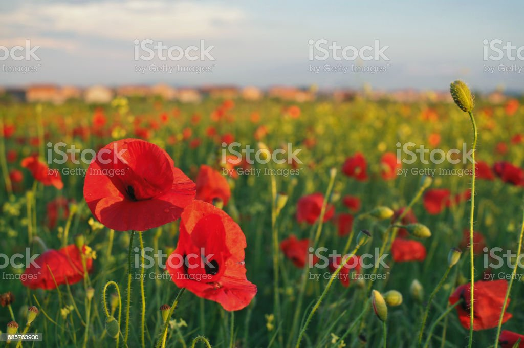Red poppies foto stock royalty-free