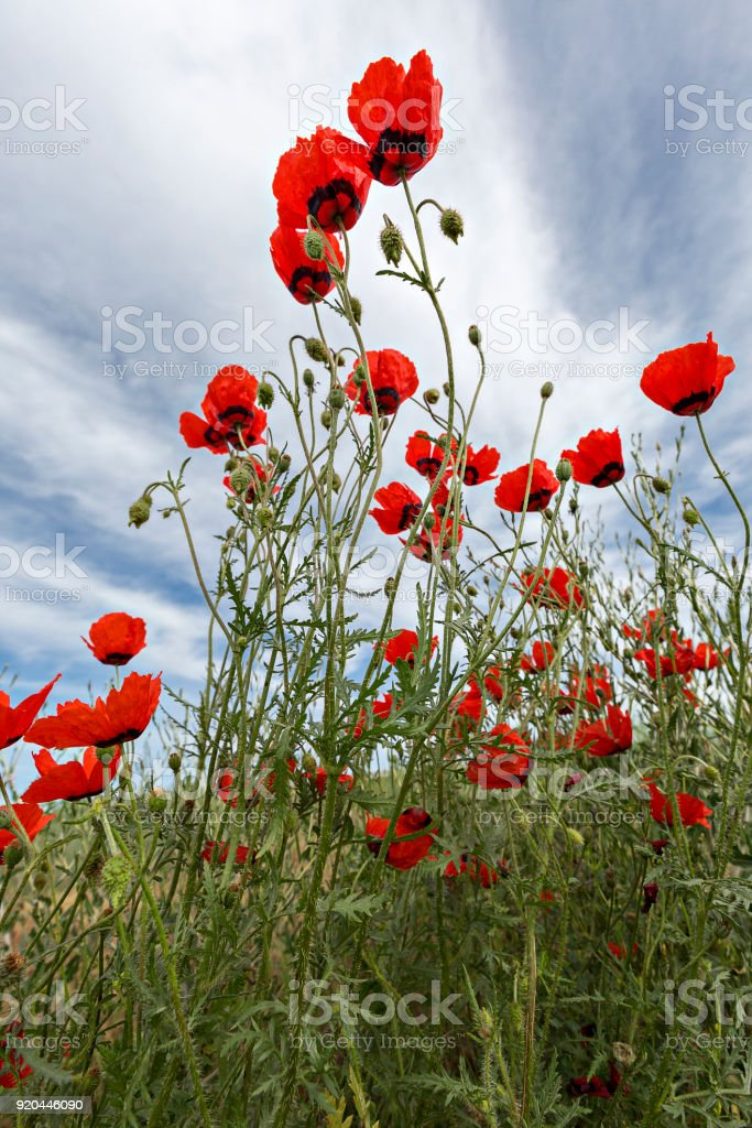Red poppies. stock photo