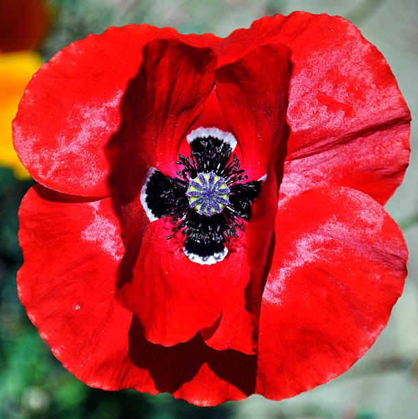 Red Poppy 1 Close up of a red poppy neilliebert stock pictures, royalty-free photos & images