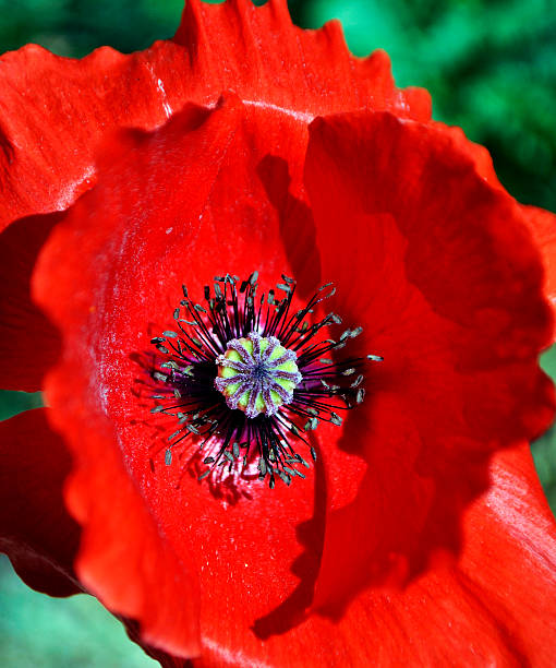 Red Poppy 2 Close up of a Red Corn Poppy. neilliebert stock pictures, royalty-free photos & images