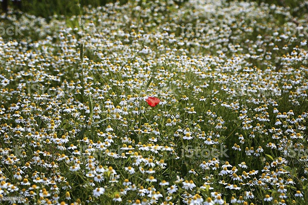 Red poppy among daisies stock photo
