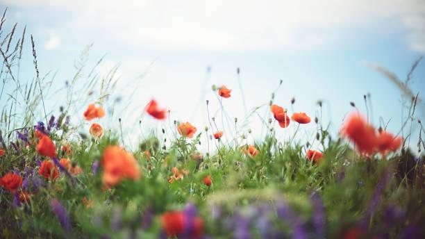 Roter Mohn und blaue Kornblume an einem warmen Sommertag – Foto