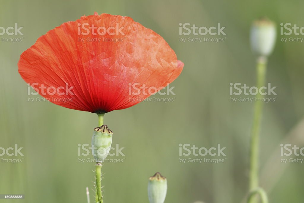 red poppy and buds royalty-free stock photo