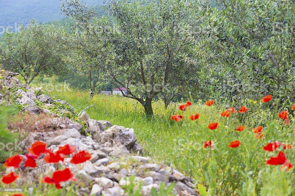 Roter Mohn und olive tree groew. Lizenzfreies stock-foto