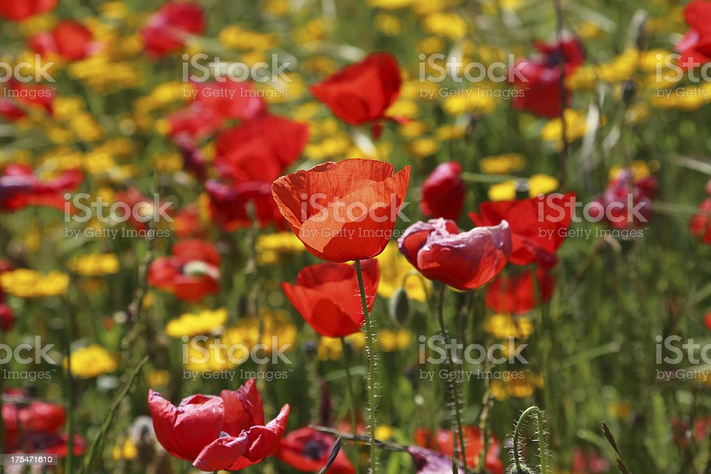 Red Poppy and yellow flowers royalty-free stock photo