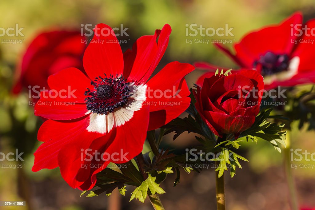 red poppy anemone flowers in bloom stock photo