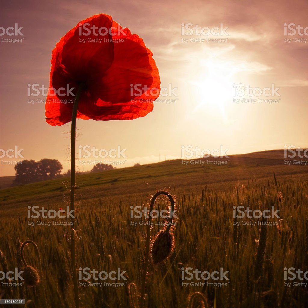 Red poppy at sunset . royalty-free stock photo