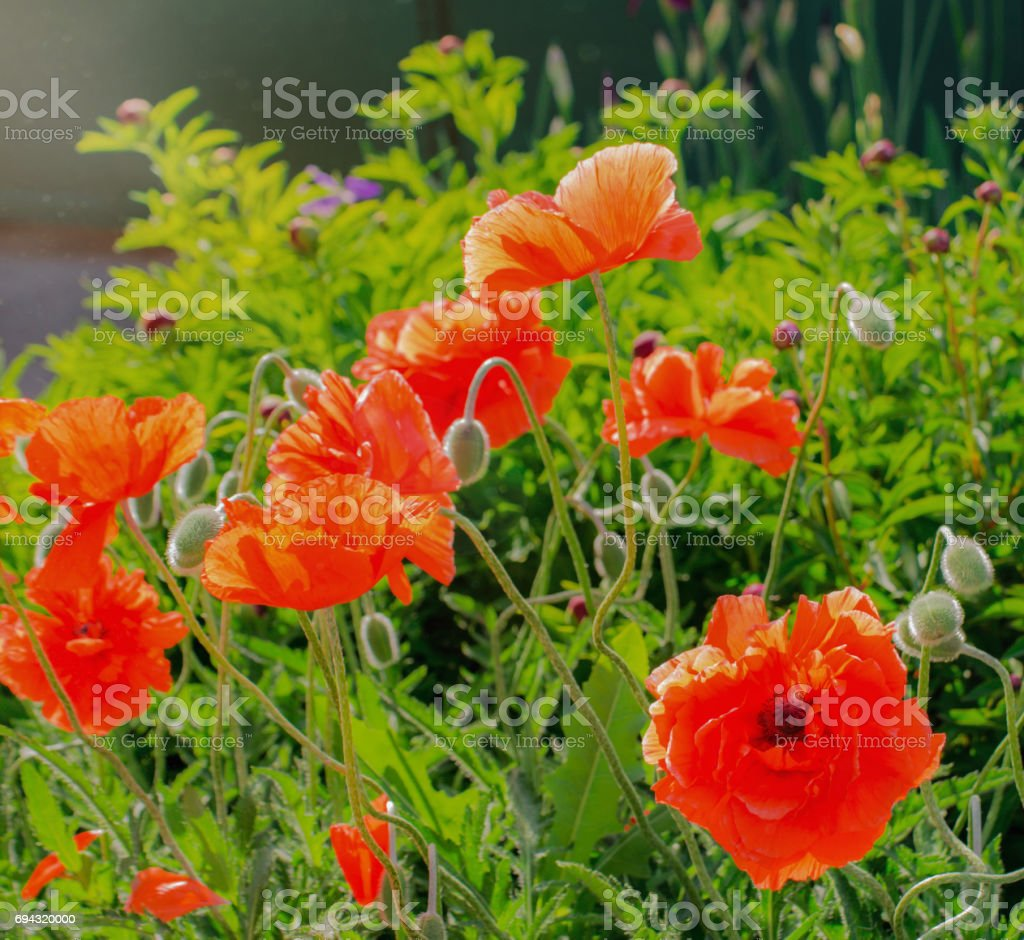 Red Poppy Blooming On Field Wild Red Poppies Flowers Poppies In
