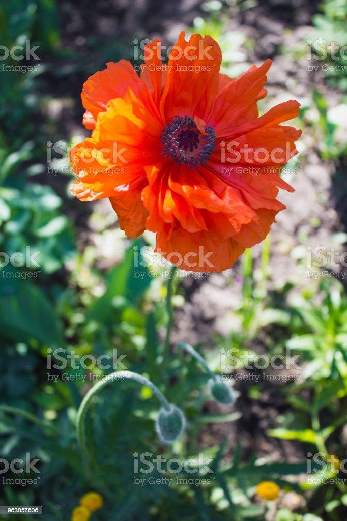 Red poppy blossom in the garden - Royalty-free Agricultural Field Stock Photo