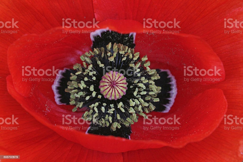red poppy blossom stock photo
