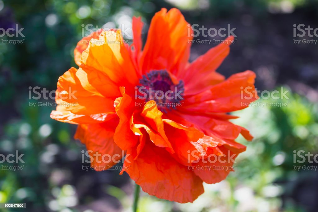 Red poppy close up head flower - Royalty-free Agricultural Field Stock Photo