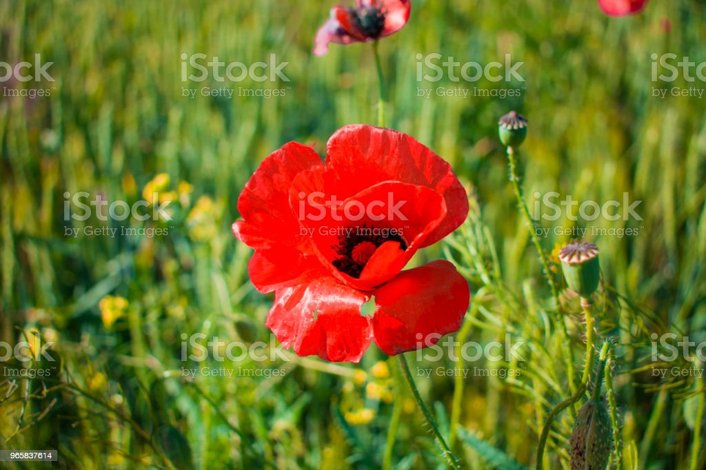 rode papaver close-up tegen een tarweveld - Royalty-free Blad Stockfoto