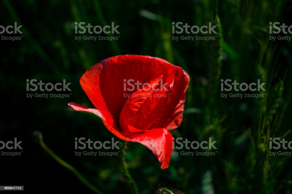 red poppy close-up against a wheat field - Royalty-free Agricultural Field Stock Photo