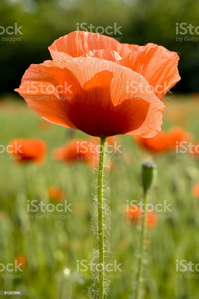 Red Poppy Closeup in a Green Field, Vivid Colors royalty-free stock photo