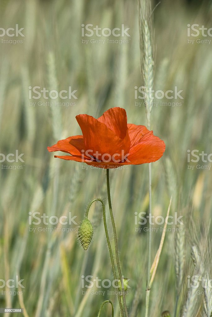 Red Poppy Closeup in a Wheat Field, Rural Scene royalty-free stock photo