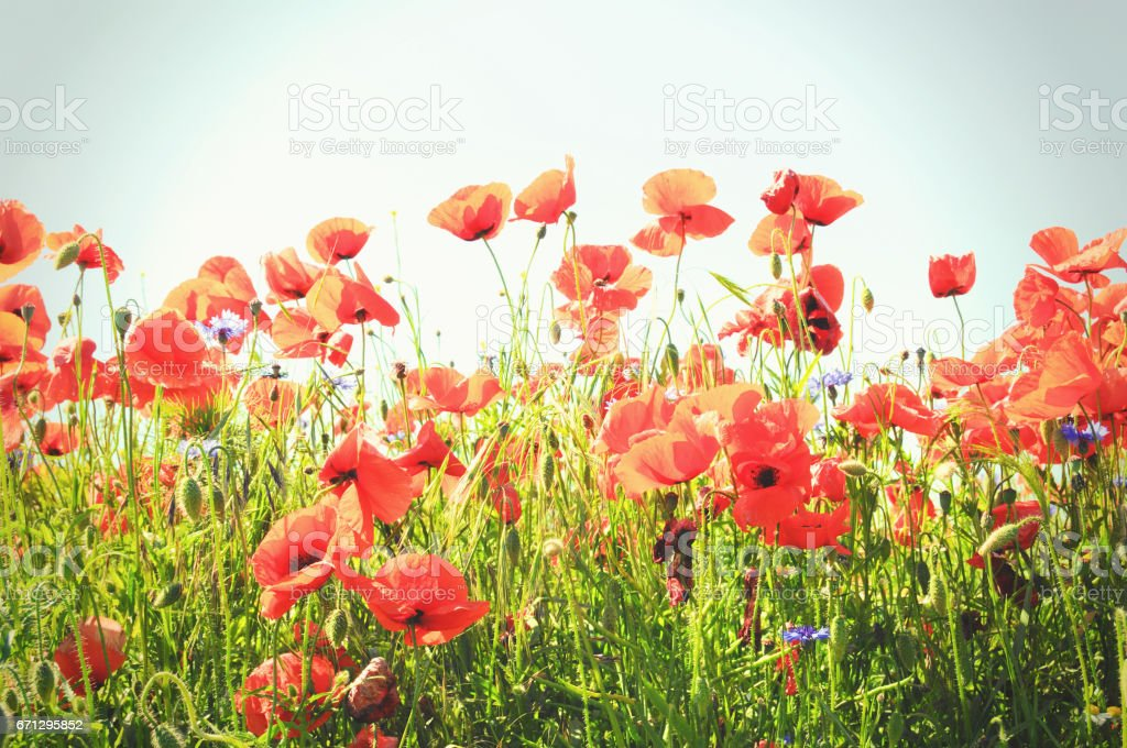 red poppy field against blue sky stock photo