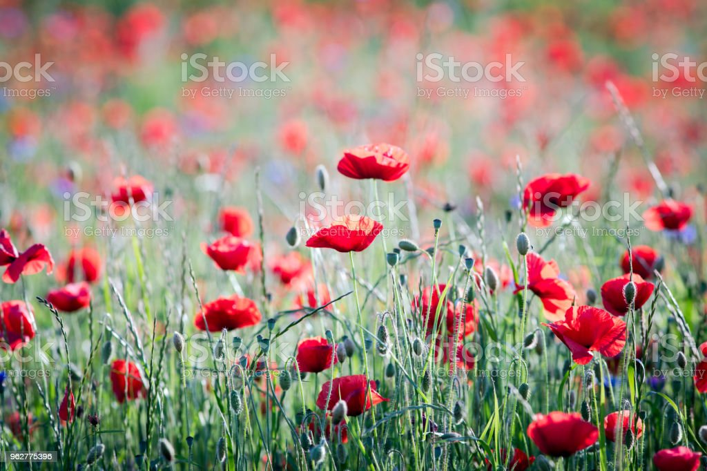 Red poppy field in springtime - Foto stock royalty-free di Agricoltura