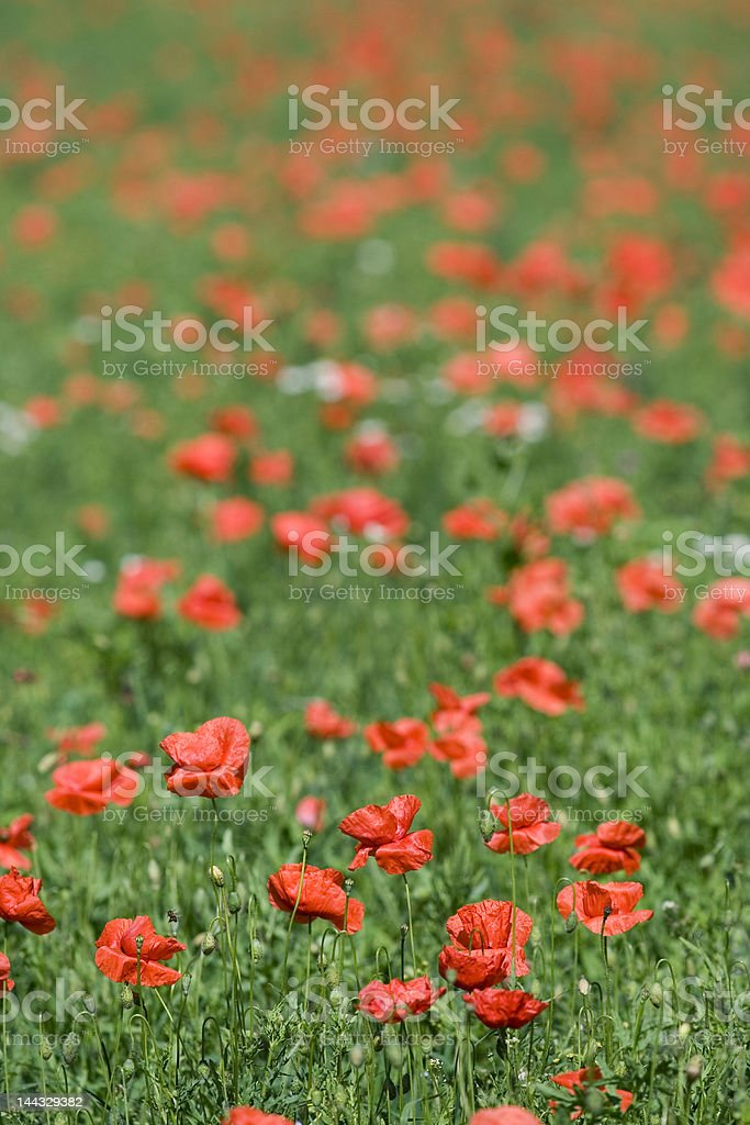 red poppy field royalty-free stock photo