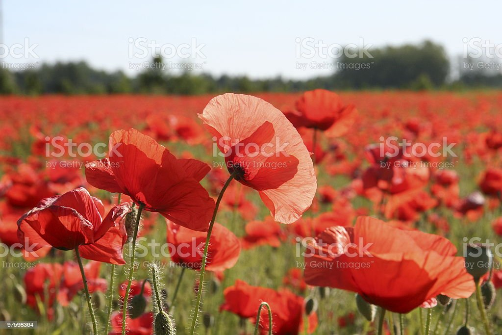 COQUELICOT ROUGE field photo libre de droits