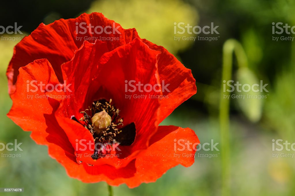 red poppy flower and bud stock photo